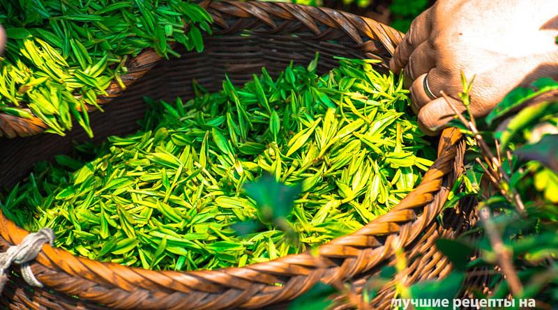 Зеленый чай — напиток долгожителей